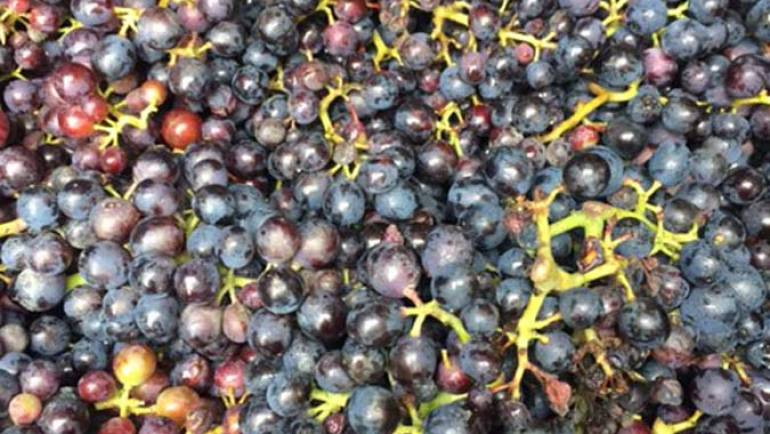 Fort Hall Vineyard Grape Harvest – September 2017